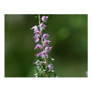 Common Heather (Calluna vulgaris) Postcard