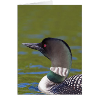 Common loon in water, Canada Card