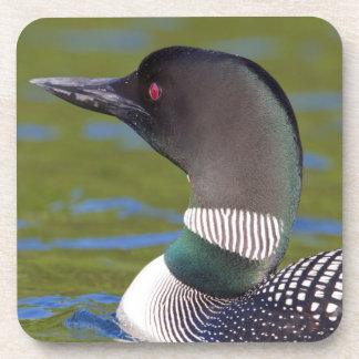 Common loon in water, Canada Coasters