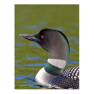 Common loon in water, Canada Postcard