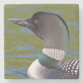 Common loon in water, Canada Stone Coaster