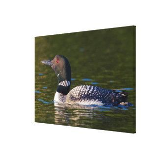 Common Loon Swimming Canvas Print
