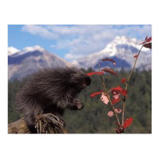 Common porcupine feeding on high brush cranberry postcard