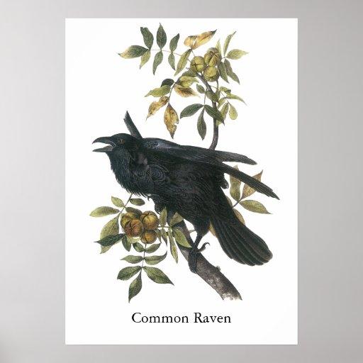 Common Raven, John audubon Poster
