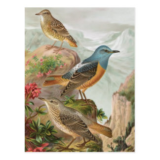 Common Rock Thrush Postcard