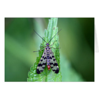 Common Scorpion Fly (Panorpa communis) Card