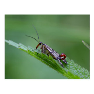 Common Scorpion Fly (Panorpa communis) Postcard