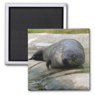 Common seal fridge magnets