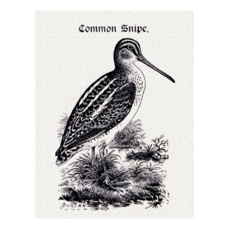 """Common Snipe"" Vintage Illustration Postcard"