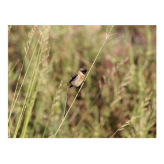 Common Stonechat (Saxicola torquatus) Postcard