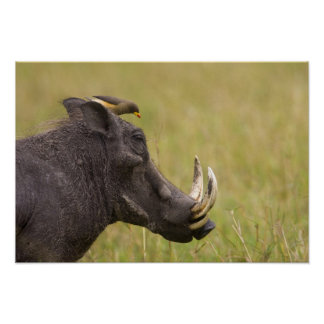 Common Warthog Phacochoerus africanus) with Poster