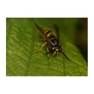 Common Wasp Acrylic Print
