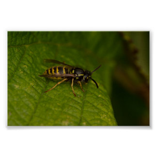 Common Wasp Poster