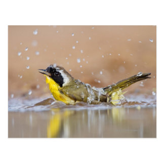 Common yellowthroat bathing postcard