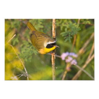 Common Yellowthroat Geothlypis trichas) male, Photographic Print