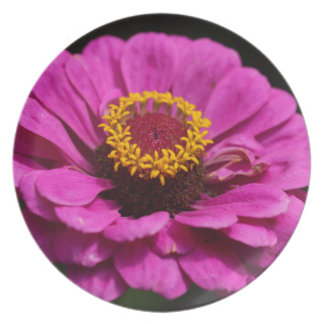 Common zinnia (Zinnia elegans) Plate