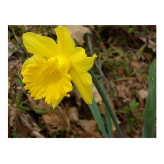 Conceptions jaunes de fleur de Jonquils de ressort Carte Postale