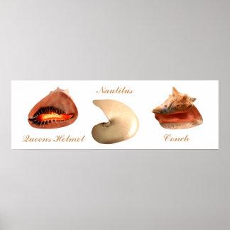 Conch, Nautilus, Queens Helmet Poster