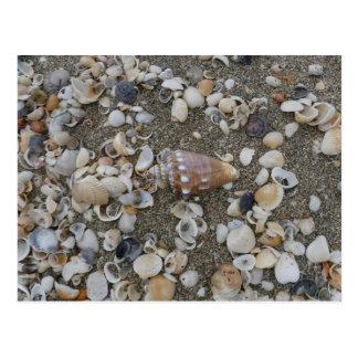 Conch Seashell Treasure Postcard