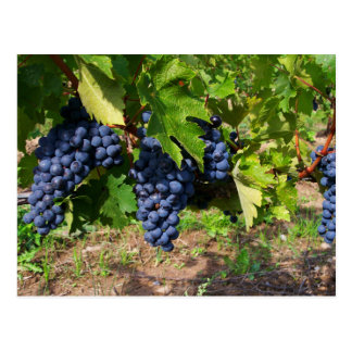 Concord Grapes on the Vine Postcard