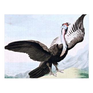 Condor Bird Wildlife Illustration Postcard