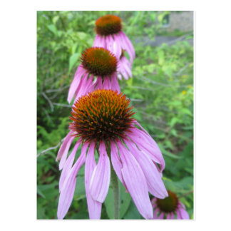 Cone Flower Trio Postcard