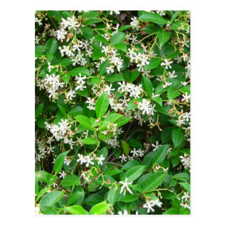 Confederate Jasmine Flowering Leaves Green and Whi Postcard