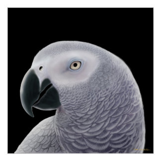 Congo African Gray Parrot Poster