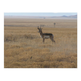 Contemplative Antelope Postcard