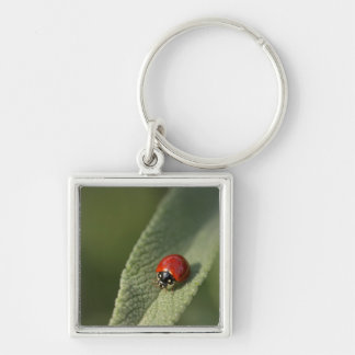 Convergent ladybird beetle on Cleveland sage Silver-Colored Square Keychain