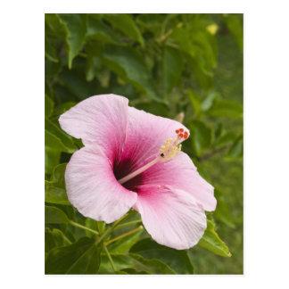 Cook Islands, Atiu. Hibiscus flower. Postcard