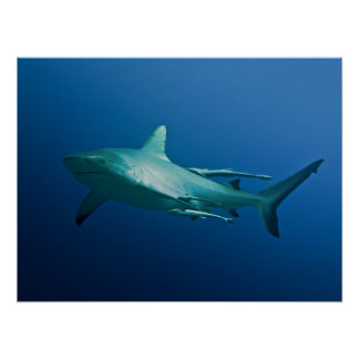 Cool Reef Shark Poster