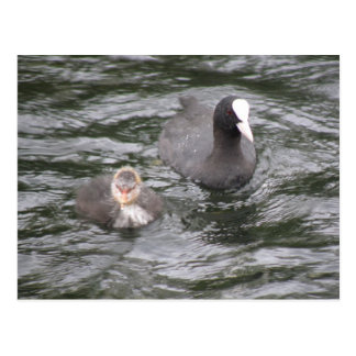 Coot and Chick Postcard