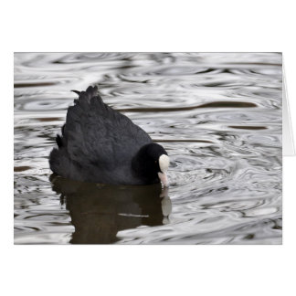 Coot on Silver Water Card