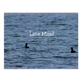 Coots at Lake Mead Postcard