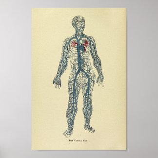 Copie d'art d'anatomie de veines du cru 1920