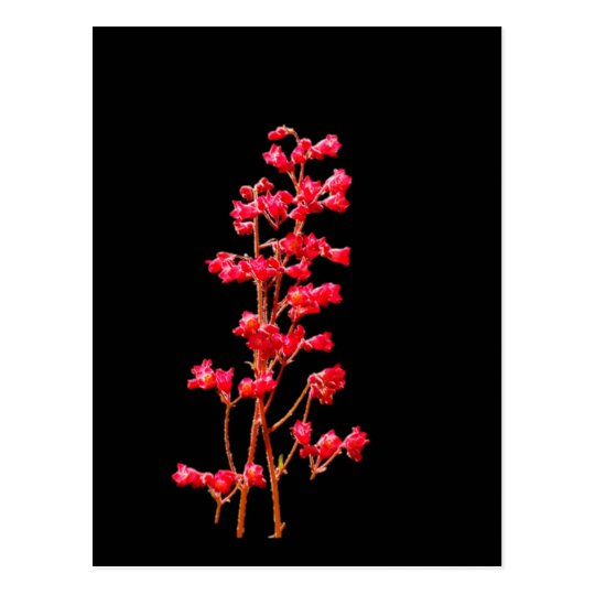 Coral Bell Flowers Postcard