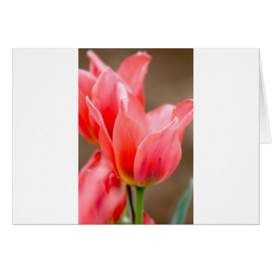 Coral Tulip Card