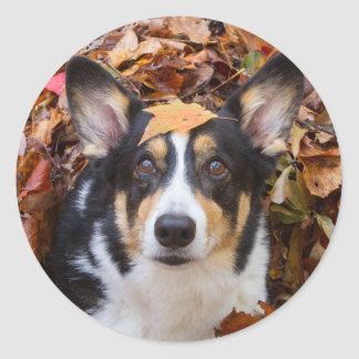 Corgi and Fall Leaves Classic Round Sticker