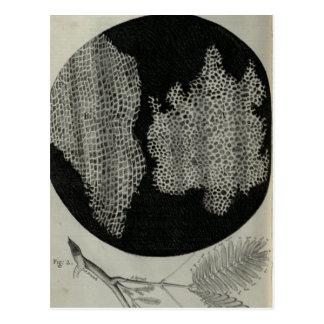 Cork Cells, Robert Hooke Postcard
