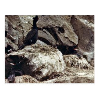 Cormorants Postcard