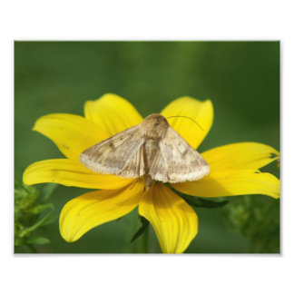 Corn Earworm Moth Photo Print.