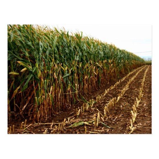 Corn harvest postcard