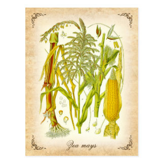 Corn (Maize) - vintage illustration Postcard