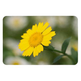 Corn Marigold Magnet