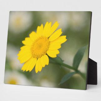 Corn Marigold Plaque