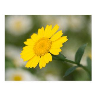 Corn Marigold Postcard