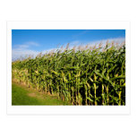 cornfield and sky post cards