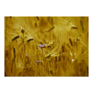 Cornflower in the grain poster