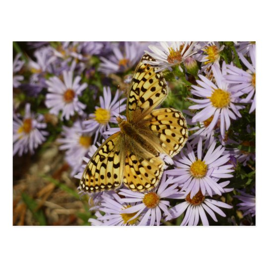Coronis Fritillary on Aster Flowers at Grand Teton Postcard